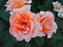 Beautiful tea rose closeup in summer garden at sunset.  stock photo