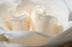 Beautiful tea rose petals close up Stock Photos
