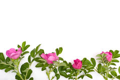 Beautiful tea rose Royalty Free Stock Photos