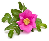 Beautiful tea rose Stock Photo