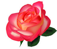 Beautiful tea rose on a white background. Vector. Royalty Free Stock Photos