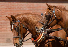 Beautiful team of horses pulling stagecoach. Reddish brown team of large healthy matched horses pulling a stagecoach wagon Royalty Free Stock Photo