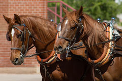 Beautiful team of horses pulling stagecoach. Reddish brown team of large healthy matched horses pulling a stagecoach wagon Royalty Free Stock Image