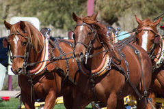 Beautiful team of horses pulling stagecoach. Reddish brown team of large healthy matched horses pulling a stagecoach wagon Stock Photos