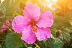 Beautiful tender blooming pink hibiscus flowers on bush green leaves foliage. Golden sun flare Stock Photo