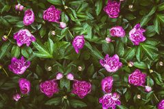Floral background of pink peonies. Top view stock photo