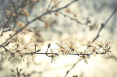 Beautiful tender cheery tree flowers border, blooming nature, fi. Rst blossom, sunny day, natural border, spring time concept Stock Photography
