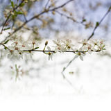 Beautiful tender cheery tree flowers border, blooming nature, first blossom, sunny day, natural border, spring time concept.  royalty free stock image