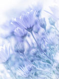 Tender daisy flowers. Beautiful tender daisy flowers, natural wallpaper, soft focus, blue blurry pastel picture, spring nature royalty free stock image