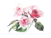 Beautiful tender gentle sophisticated wonderful lovely cute spring floral herbal botanical red powdery pink roses with green leave. S bouquet watercolor hand Stock Images