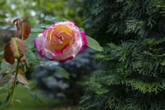 Beautiful tender pink rose Double Delight in soft focus. The greenery garden acts as a dark background. Natural daylight. Nature concept for design stock image