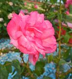 Beautiful tender red and pink roses. View of a natural background, beautiful tender roses flowering in a garden stock image