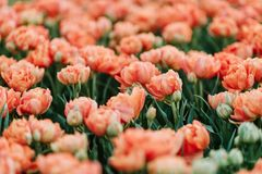 Beautiful and tender salmon color tulips. In spring garden stock photos