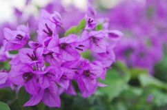 Beautiful tender spring flowers bloom in the garden. royalty free stock image