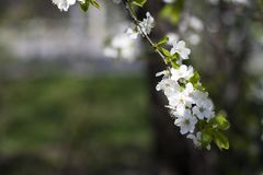 Beautiful tender spring natural cherry blossom tree branch, background with space for text stock photo