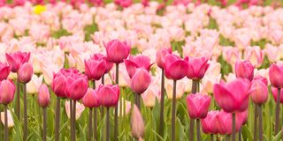 Pink tulips blooming on a lawn or in a field. Beautiful tender tulips growing in a field or on a lawn in a summer park stock photo