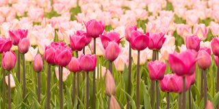 Pink tulips blooming in the park or in the garden. Beautiful tender tulips growing in a field or on a lawn in a summer park stock image