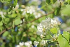 Beautiful tender white flowers of blooming cherry stock image