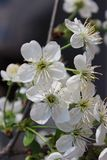 Beautiful tender white flowers of blooming cherry royalty free stock photos