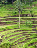 Beautiful terrace paddy field at Ubud, Bali Royalty Free Stock Photos