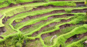 Beautiful terrace paddy field at Ubud, Bali Royalty Free Stock Photography