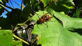 The beautiful and terrible giant Hornet big wasp keeps on a green grape leaf with a gust of wind. Close-up. stock video