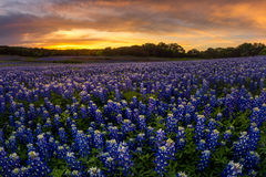 Beautiful Texas bluebonnet field in at Muleshoe Bend Recreation Stock Photo
