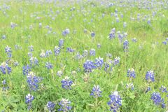 Close-up top view Bluebonnet blanket in Ennis, Texas, USA at spr. Beautiful Texas Bluebonnet field in the springtime. Top view a bright colorful blanket of Texas Royalty Free Stock Image