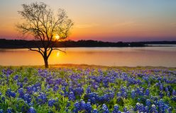 Beautiful Texas spring sunset over a lake. Blooming bluebonnet wildflower field and a lonely tree silhouette Royalty Free Stock Photography