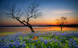 Beautiful Texas spring sunset over a lake. Blooming bluebonnet wildflower field and tree silhouettes stock photo