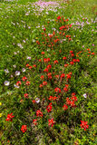 Beautiful Texas Wildflowers in a Field Royalty Free Stock Photo
