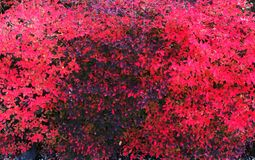 Beautiful textural background of a red black bush. Royalty Free Stock Image