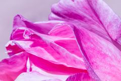Rose petals at sunrise. Beautiful texture, color and details of the rose petals at sunrise in a garden Stock Images