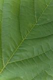 Beautiful texture of a green leaf Royalty Free Stock Photo