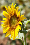 Beautiful texture of male-female sunflower Stock Photography