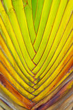 Beautiful Texture of Traveller's tree trunk (Ravenala madagascar Royalty Free Stock Photography