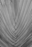 Beautiful Texture of Traveller's tree trunk (Ravenala madagascar Stock Photos