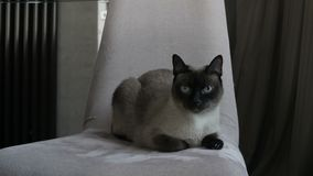Beautiful Thai cat on chair stock video footage