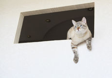 Thai cat sitting in the window. Royalty Free Stock Image