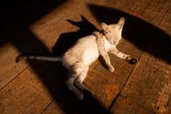 Beautiful Thai cat Royalty Free Stock Photos