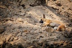 Beautiful Thai dog sleeping Royalty Free Stock Photos