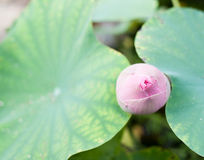 Beautiful Thai lotus in the pond Royalty Free Stock Image