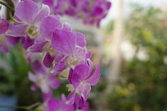 Beautiful thai purple orchid Stock Photography