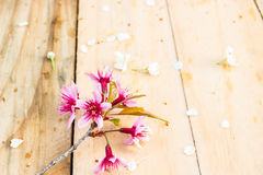 Beautiful Thai sakura cherry blossoms background Royalty Free Stock Images