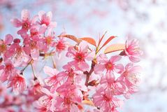 The beautiful Thai Sakura at Khun-Chang-kien ,Thailand Royalty Free Stock Photography