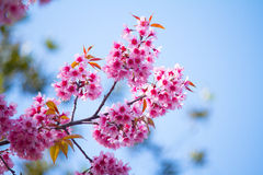 Beautiful thai sakura Stock Images