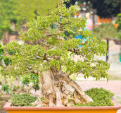 Bonsai trees. Is beautiful Thailand bonsai tree Royalty Free Stock Photo