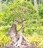 Bonsai thailand. Is beautiful thailand bonsai tree Royalty Free Stock Photo