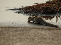 A beautiful thirsty squirrel  in India stock photo