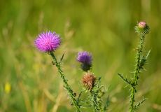 Beautiful thistle. Cárduus. Summer flowers. royalty free stock photography